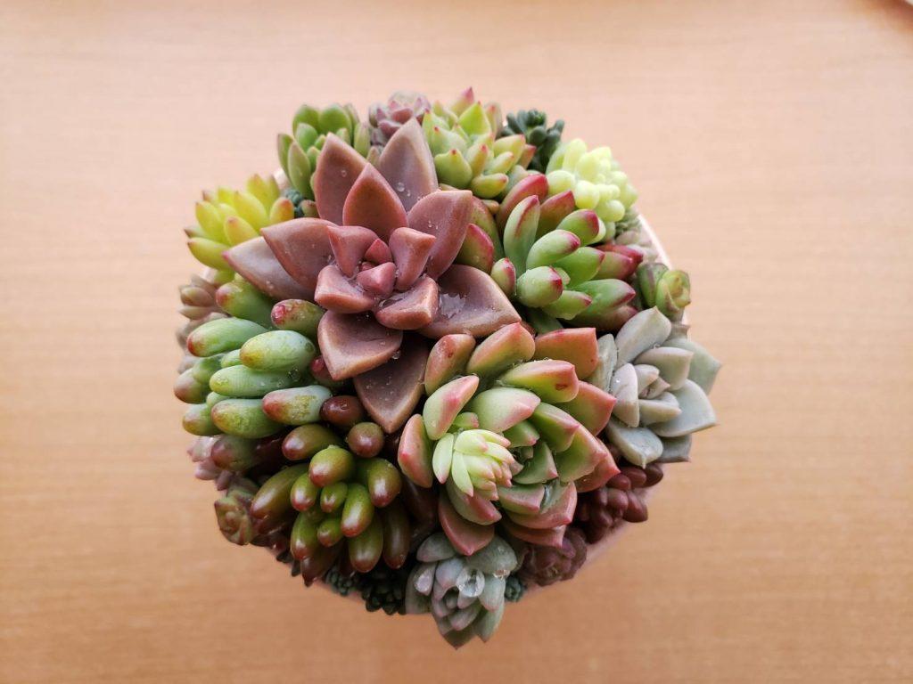 多肉植物上から見た写真 ファイル名: IMG_0888-1024x768.jpg